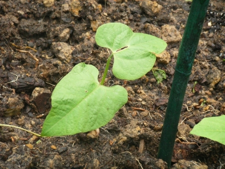 bean-seedling