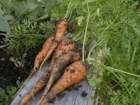 Carrots freshly pulled